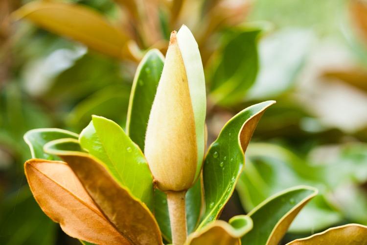 Close up of a budding tropical flower.